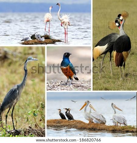 Five african birds. Grey Crowned Crane, pelican, superb starling, flamingo, heron  - stock photo