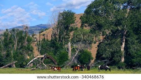 Five Appaloosa horses graze among the foothills of the Absaroka Mountain Range in Paradise Valley, Montana.   - stock photo