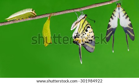 Five bar swordtail butterfly (antiphates pompilius) life cycle - stock photo