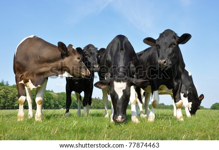 Five beautiful young curious cows in a meadow - stock photo