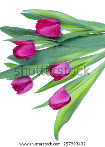 five bright pink tulip with tender green leaves with drops of water collected in a bouquet on a white background vertical