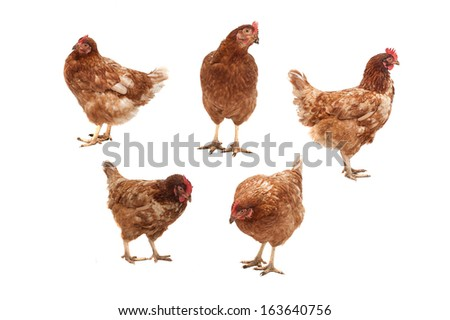 Five chickens in different poses on a white background.