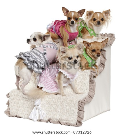 Five Chihuahuas sitting on steps in front of white background - stock photo