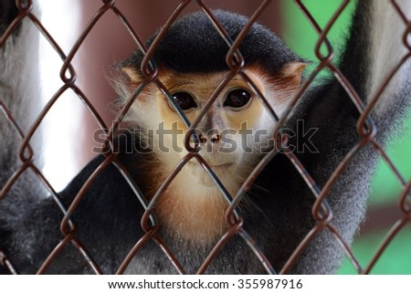 Five Color Gibbon or Red-shanked douc in cage (Pygathrix nemaeus)