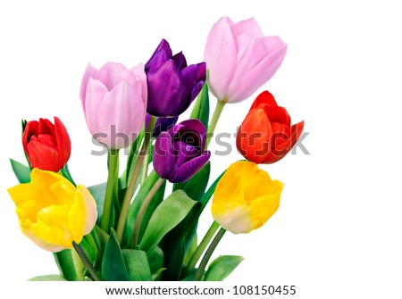 Five colorful tulips, isolated on white