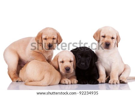 five curious little labrador retriever puppies on white background - stock photo