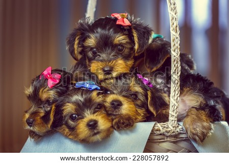 Five cute little Yorkshire terrier dog puppies with head fur tied with colorful bows, looking at camera while resting in a basket. Shallow depth of field. - stock photo