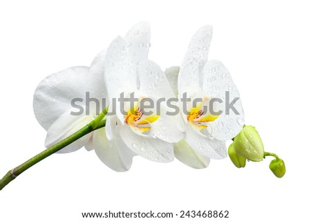 Five day old white orchid with water droplets isolated on white background. Closeup.