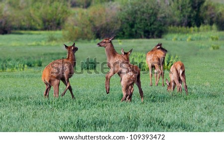 Five Elk Fawns Play in Meadow - stock photo