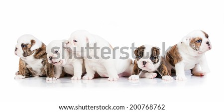 Five english bulldog puppies - stock photo