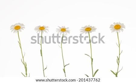 five fragile, gentle chamomile on white background - stock photo