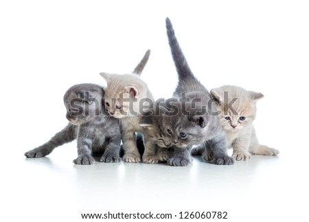 five funny Scottish kittens isolated on white background - stock photo