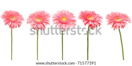five gebera (african daisy) isolated on white - stock photo