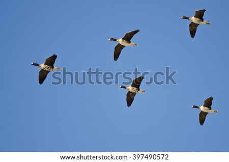 Five Greater White-Fronted Geese Flying in a Blue Sky - stock photo