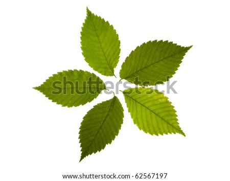 five green leaves of elm - stock photo
