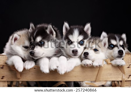 five husky pups - stock photo