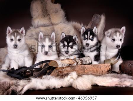 five husky pups - stock photo