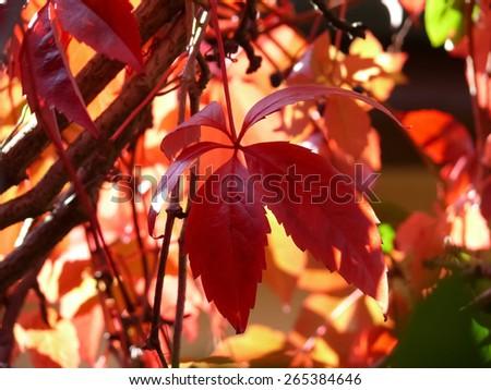 five-leaved ivy (Parthenocissus quinquefolia) - stock photo