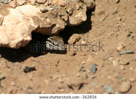 Five-Lined Utah Desert Skink Peaking out From Nest - stock photo