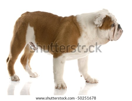 five month old english bulldog puppy standing up with reflection on white background
