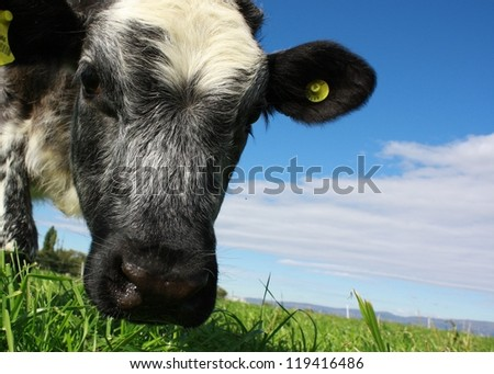 Five month old Shorthorn cross heifer standing in a paddock in New Zealand. - stock photo