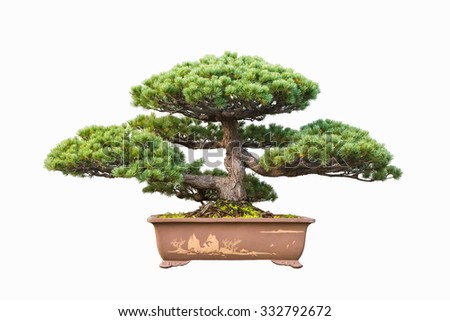 five needle pine bonsai with a white background - stock photo