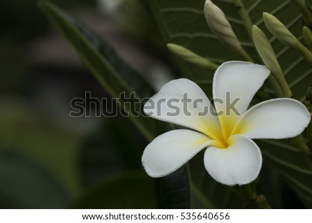 five petal white flower frangipani ( plumeria ) with yellow center on the green leaf background close up selective focus