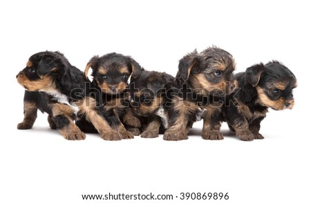 Five puppies popredi Yorkshire Terrier isolated on the white (age 1 month).