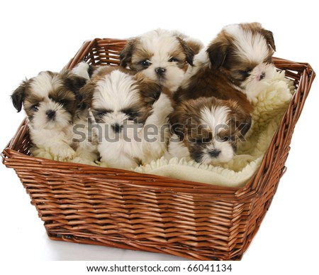 five shih tzu puppies in a basket on white background - stock photo