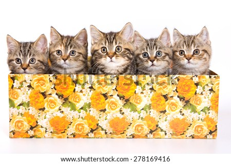 Five striped kitten in a box (isolated on white)