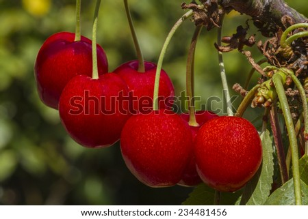 Five succulent ride cherries on the tree - stock photo