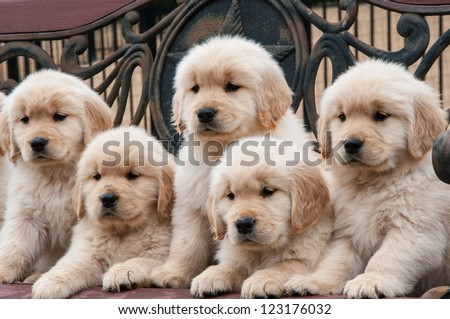 Five 8-week-old Golden Retriever litter mates sitting in a wooden bench - stock photo