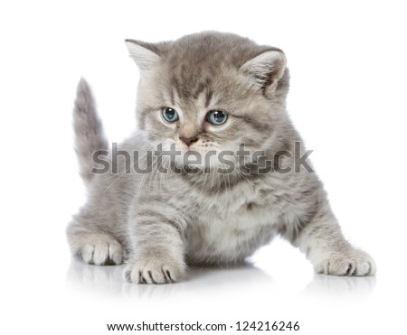 five weeks old british short hair kitten - stock photo