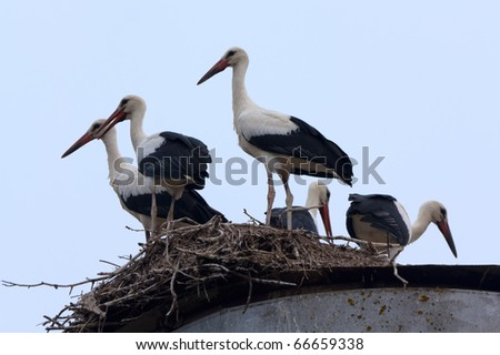 Five White Storks staying in the nest in profile on the blue sky background - stock photo