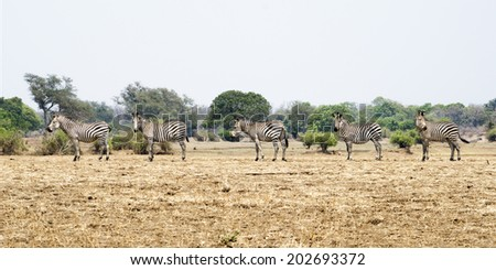 Five Zebras in a Line, Dry Season, South Luangwa National Park, Zambia, Africa - stock photo