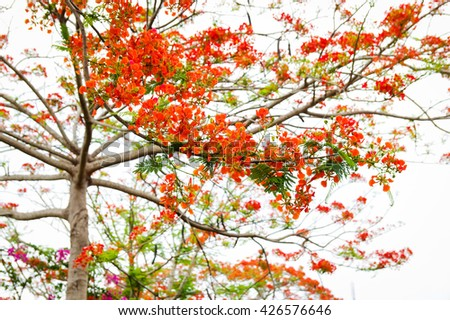 Flamboyant flowers with bright background