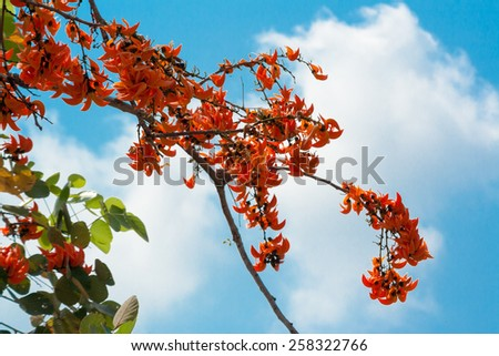 Flame of the forest and blue sky - stock photo