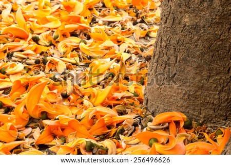 Flame of the forest tree - stock photo