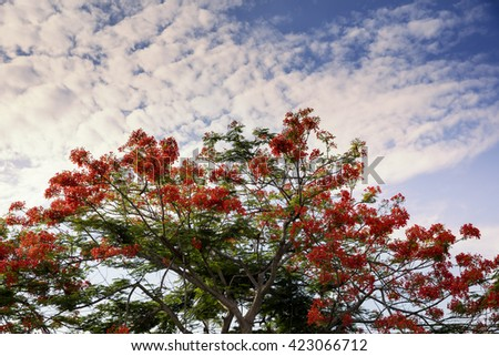 Flame tree with Red bloom flower / Royal Poinciana
