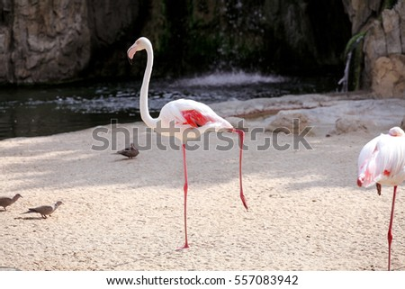 Flamingo bird in a beautiful ambient. A beautiful bird of paradise and animals Flamingo enjoying the sunny day. Lesser Flamingo standing on one leg.