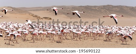 Flamingo Bird in Flight at Walvis Bay / Swakopmund, Nambia, Africa - stock photo