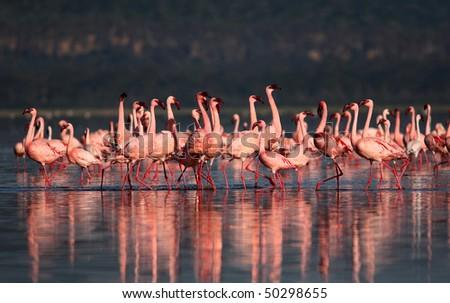 flamingo dance - stock photo