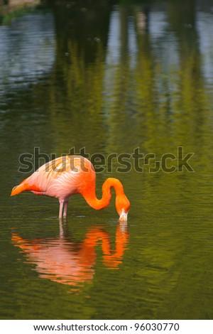 Flamingo feeding - stock photo