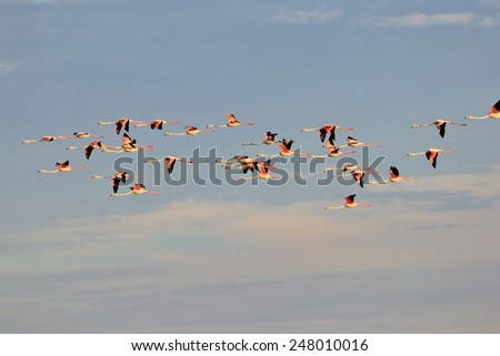 Flamingo Flight - African Wild Bird Background - Flying Colors in Nature - stock photo