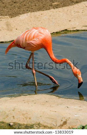 Flamingo going on water. Close up