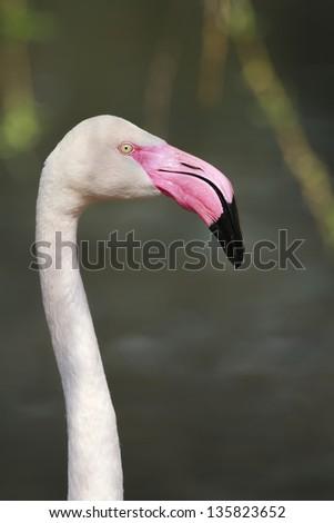 flamingo in detail - stock photo