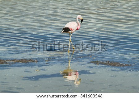"Flamingo known as Parina Grande (Phoenicoparrus andinus) in ""Salar de Surire"", Chile - stock photo"