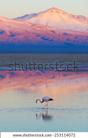 Flamingo, pink sunset above Atacama desert - stock photo