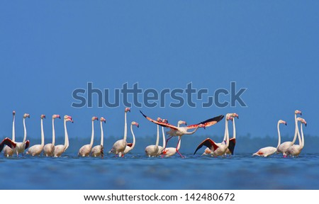 Flamingo's in Mozambique southern Africa - stock photo