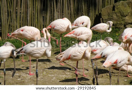 Flamingos - stock photo